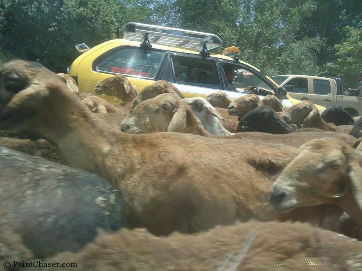 Sheep holding up traffic in Makroyan